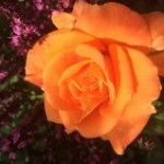 Smuk orange rose.